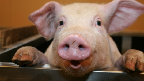 Pigs+images
